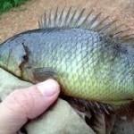 Umpan Dan Cara Mancing Ikan Sepat Di Sungai