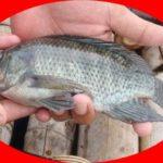 Umpan Pancing Yang Paling Cocok Untuk Ikan Mujair