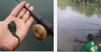 Umpan Pancing Ikan Nila Yang Paling Galak
