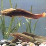 Proses Pemijahan Induk Ikan Lele sangkuriang
