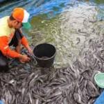 Berapa Bulan Ikan Lele Bisa Dipanen