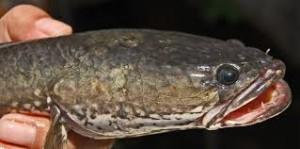 Umpan Mancing Ikan Gabus Liar Paling Galak