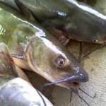 Cara Mancing Ikan lele Di Sungai Dan Rawa