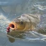 Umpan Mancing Ikan Mas Malam Hari
