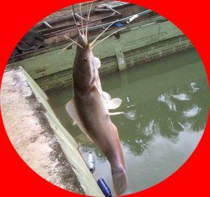 Meracik Resep Umpan Mancing Ikan lele