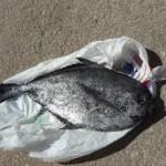 Meracik Umpan Mancing Ikan Bawal Ampuh 2018