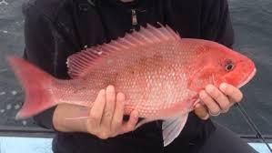 Umpan Dan Teknik Mancing Ikan Kakap Merah