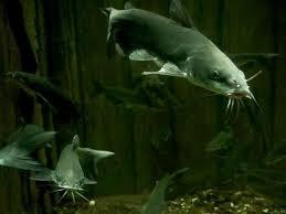 Umpan Dan Cara Mancing Ikan Keli