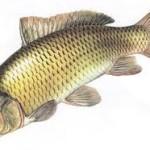 5 Jenis Umpan Mancing Ikan Tumbro Ampuh