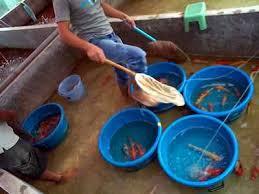 Berapa Harga Bibit Ikan Koi Hari Ini