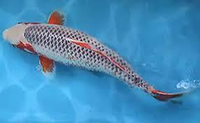 6 Daftar Ikan Koi Termahal Didunia