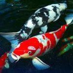 5 Jenis Ikan Koi Mahal Mudah Dipelihara