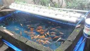 Jual Beli Ikan Koi Omset Puluhan Juta