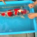 Suhu Dan Sirkulasi Air Kolam Ikan Koi