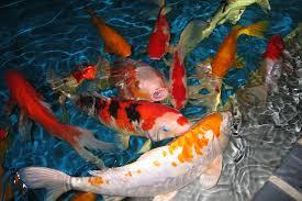 Cara Ternak Ikan Koi Panduan Kusus Pemula