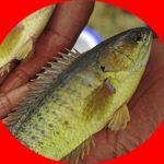 Umpan Mancing Ikan Betok Paling Galak 2018
