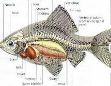 Berbagai Macam Klasifikasi Ikan koi Terbaik Paling Digemari