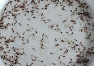 Contoh Pemijahan Lele Sangkuriang Dan Menetaskan Telur