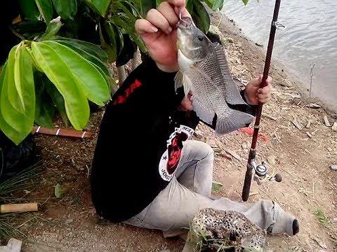 Umpan Mancing Ikan Mujair ,Gunakan Umpan Galak Ini