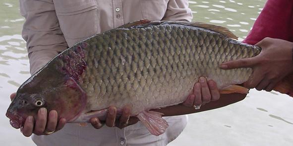 Umpan Mancing Ikan Mas Air Dalam