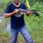 Umpan Mancing Ikan Gabus Di Sungai 2018 (Pengalaman Pribadi)