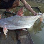 Umpan Mancing Ikan Jambal di Sungai 2018 (Resep Galak Jos)