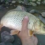 Meracik Umpan Kail Pancing Ikan Mas Ampuh
