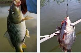 Umpan Dan Alat Memancing Untuk ikan Mas