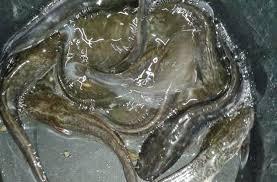Cara Pembibitan Ikan Lele Sangkuriang