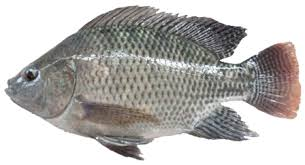 Cara Budidaya Ikan Nila Gesit Kolam Terpal