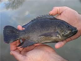 14 Jenis Ikan Nila Unggul Dan Cepat Besar
