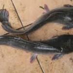 2 Kelebihan Ternak Ikan Lele Sangkuriang