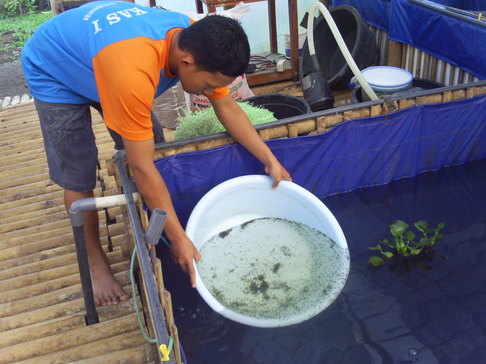 Cara Menebar Benih Ikan Lele Di Kolam