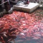 Cara Budidaya Ikan Nila Kolam Terpal Cepat Besar