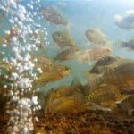 jenis Umpan Mancing Ikan Nila Kolam