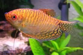 Umpan Mancing Ikan Sepat Siam Paling Galak