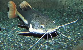Teknik Umpan Mancing Ikan Patin Sungai Danau Mancingikan Net 2020 Mancingikan Net 2020