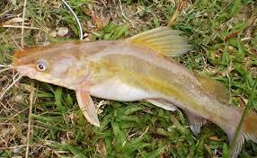 Teknik Umpan Mancing Ikan Baung Galak