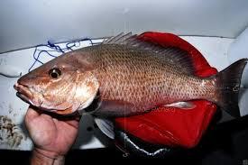 Waktu Terbaik Mancing Ikan Kakap Laut