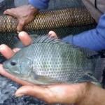 Pengendalian Hama Penyakit Pada Ikan Nila