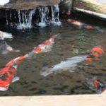 Cara Budidaya Ikan Koi Kusus Pemula Lengkap