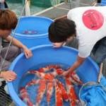 Ciri Ikan Koi Bagus Untuk Indukan
