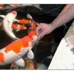 Panduan Lengkap Cara Memelihara Ikan Koi
