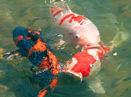 Cara Merawat Ikan Koi Harian Harus Dilakukan