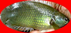 Umpan Mancing Ikan Betok Paling Galak