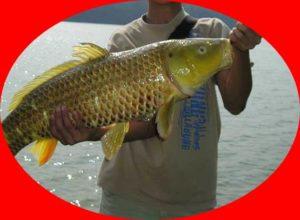 Racikan Umpan Ikan Mas Sederhana Namun Galak