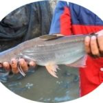 Umpan Jitu Ikan Patin Kolam 2018 Belum Di ketahui Orang