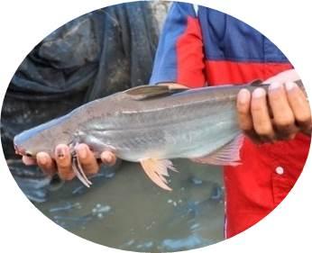 Umpan Jitu Ikan Patin Kolam Belum Di ketahui Orang