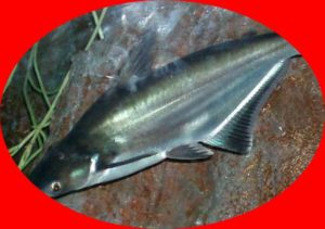 Umpan Ikan Patin Racikan Paling Galak Kolam Sungai