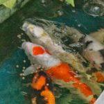 Berbagai Jenis Makanan Ikan Koi Kusus Budidaya